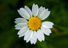 Daisy wheel with water drops on it Royalty Free Stock Photos