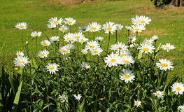 Daisy wheels. Some nice white blooming daisy wheels in summer Royalty Free Stock Photo