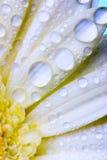 daisy white fotografia stock