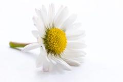 daisy white Zdjęcia Royalty Free