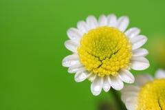 daisy white Obrazy Royalty Free