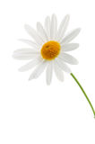 Daisy on white background stock photo