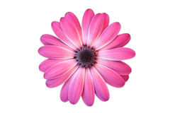 Daisy with white background Royalty Free Stock Photos