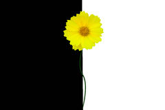 Daisy on a white-black background. Yellow daisy on black and white background Stock Photography