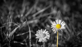 Daisy. White daisies on a blurred meadow Royalty Free Stock Photo