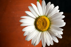 Daisy White Flower Brown Dark Background Stock Images