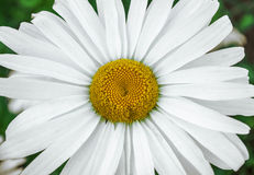Daisy. White daisy flower close-up Royalty Free Stock Photos