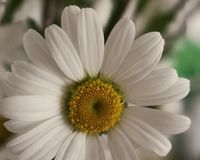 Daisy. White flower, Margaret Royalty Free Stock Images