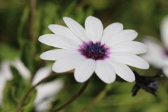 Daisy, White, Flower, Plant, Nature Royalty Free Stock Photo