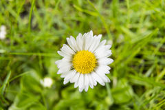 The Daisy, white flower. The white flower symbolizes infallibility and spiritual maturity stock images
