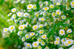 Daisy white flower yellow pollen Royalty Free Stock Image