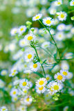 Daisy white flower yellow pollen in clump garden Stock Photo