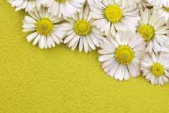 Daisy. White daisy flowers field background Stock Images
