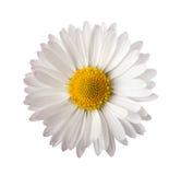 Daisy. White daisy isolated on white background Stock Photos