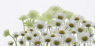 Daisy white marguerite flowers Stock Photography