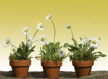 Daisy white marguerite flowers Stock Photo