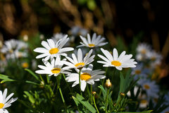 Daisy white in the nature. Green grass and daisy white in the nature Royalty Free Stock Image