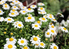 Daisy. White petals daisies blooming in spring Stock Images