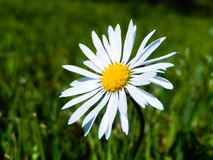A closeup of a white daisy with a blurred green background royalty free stock photo
