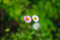 Daisy white and pink on the floor is blooming stock photos