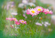 Daisy with white - pink petals Royalty Free Stock Photography