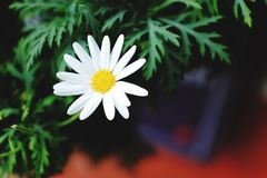 Daisy. White yellow daisies greens bokeh nature macro close-up flower Royalty Free Stock Photos