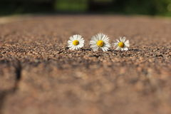 Daisy white and yellow flower in sunny day royalty free stock photo