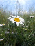 Daisy wild. Close-up of a wild daisy in a field royalty free stock image