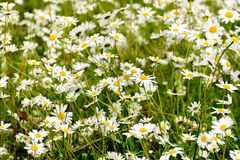 Daisy in a wild field. Daisies in a wild natural field Royalty Free Stock Images