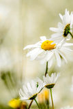 Daisy in a wild field. Daisies in a wild natural field Stock Photo