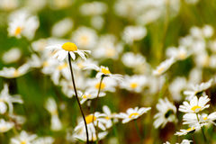 Daisy in a wild field. Daisies in a wild natural field Stock Photography