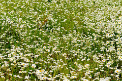 Daisy in a wild field. Daisies in a wild natural field Royalty Free Stock Photos