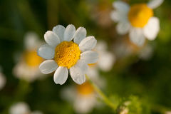 Daisy. Wild daisy in a meadow stock photos