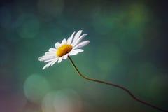 Daisy wildflower Stock Photo