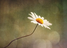 Daisy wildflower Royalty Free Stock Images
