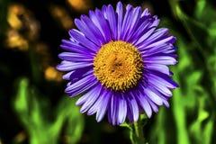Daisy Wildflower Mount Rainier Paradise subalpine jaune pourpre Photos stock