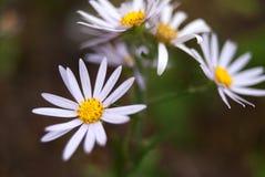 Daisy. Wildflowers in autumn, Jilin Province, China Royalty Free Stock Image