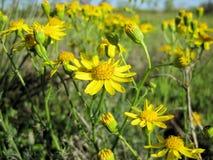 Daisy Wildflowers van Engelmann, Engelmann Daisy, Cutleaf Daisy stock fotografie