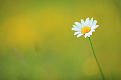 A daisy in the wind Stock Photo
