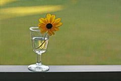 Daisy in wine glass. Yellow daisy flower resting on rim of a wine glass with its stem dipping into water, placed on a ledge in a screened porch Stock Photography