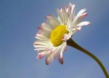 daisy wiosna Obraz Royalty Free