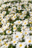 daisy wiosny w terenie Zdjęcie Royalty Free