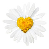 Daisy With Heart In Center Royalty Free Stock Photography