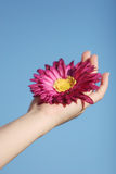 Daisy in woman's hand Royalty Free Stock Images