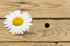Daisy on wood Royalty Free Stock Images