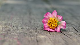 Daisy On Wood Isolated Royalty Free Stock Image
