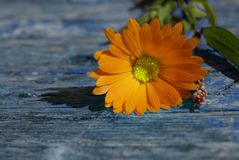 Daisy on wooden background with with copy-space Royalty Free Stock Image