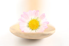 Daisy. A daisy on a wooden spoon stock images