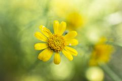Daisy is yellow color background. Yellow daisy field flower spring background flowers nature daisies chamomile plant floral blossom summer garden beauty green royalty free stock image