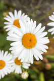 A daisy with a yellow core turned Stock Photography